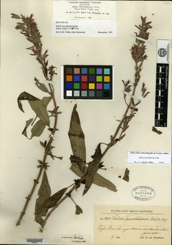 Image of Salvia tuerckheimii