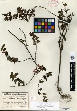 Image of Clinopodium selerianum