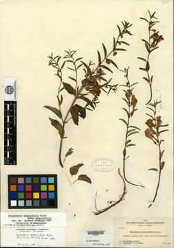 Image of Scutellaria veronicifolia