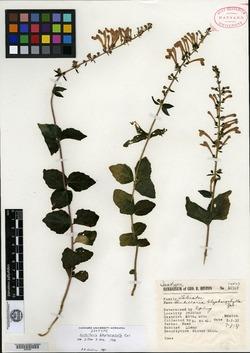 Image of Scutellaria blepharophylla