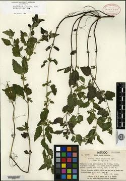 Image of Scutellaria fraxinea