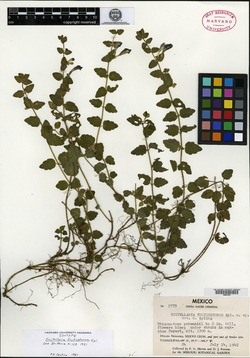 Image of Scutellaria fruticetorum