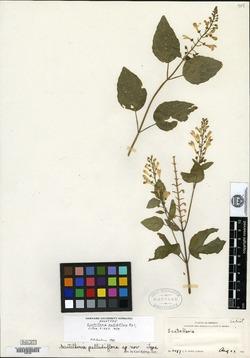 Image of Scutellaria pallidiflora