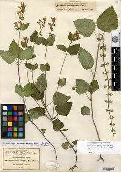 Scutellaria pseudo-coerulea image
