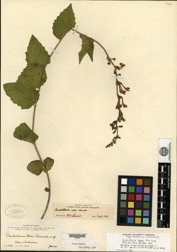 Image of Scutellaria rosei