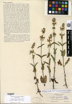 Image of Stachys gracilenta