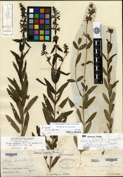 Stachys hyssopifolia image