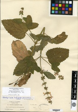 Image of Stachys quercetorum