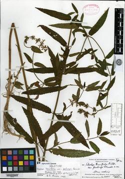 Stachys tenuifolia var. perlonga image