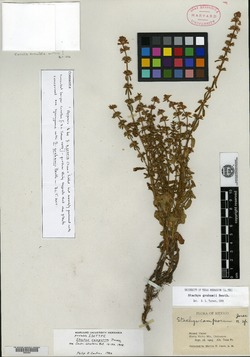 Image of Stachys camporum
