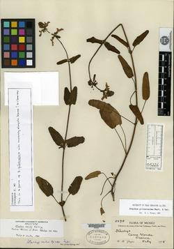 Stachys pilosissima image
