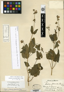 Image of Stachys flaccida