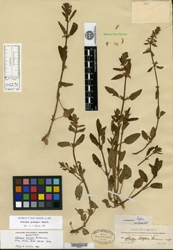 Image of Stachys latipes