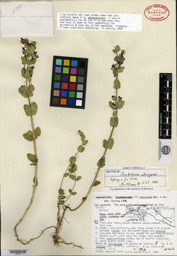 Image of Scutellaria atrocyanea