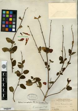 Salvia microphylla image