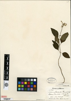 Image of Salvia flaccida