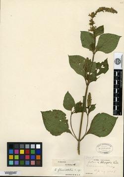 Salvia fluviatilis image