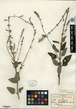 Image of Salvia urolepis