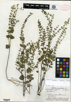 Image of Scutellaria stewartii