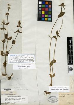 Image of Stachys biflora