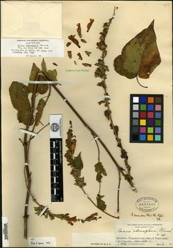 Image of Salvia adenophora