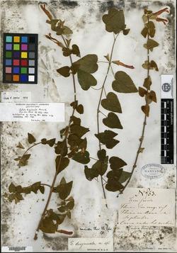 Image of Salvia disjuncta