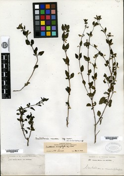 Image of Scutellaria macer