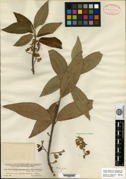 Image of Lepechinia mecistandrum
