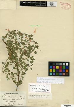 Image of Clinopodium mexicanum