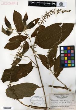 Gonzalagunia rosea image