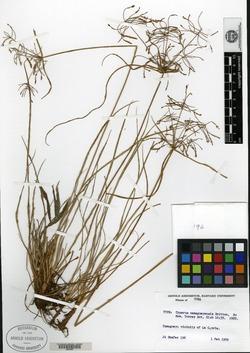 Image of Cyperus camagueyensis