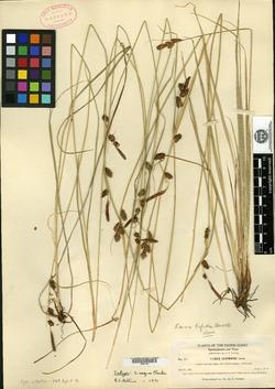 Carex aequa image