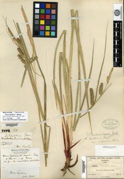Carex thurberi image