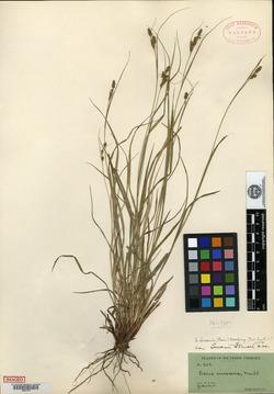 Carex virescens var. swanii image