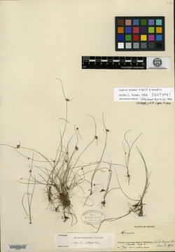 Image of Cyperus arsenei