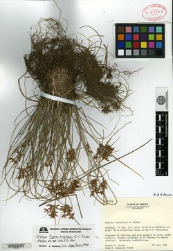 Image of Cyperus breedlovei