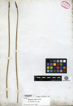 Image of Eleocharis densa