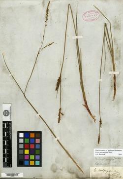 Carex polymorpha image