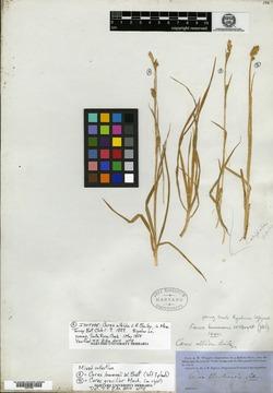 Image of Carex albida