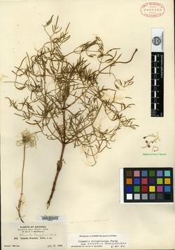 Image of Clematis arizonica
