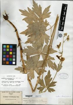 Image of Aconitum arizonicum