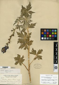 Image of Aconitum bakeri