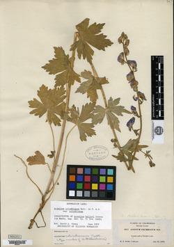 Aconitum helleri image