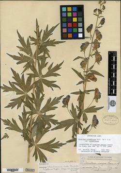 Image of Aconitum insigne