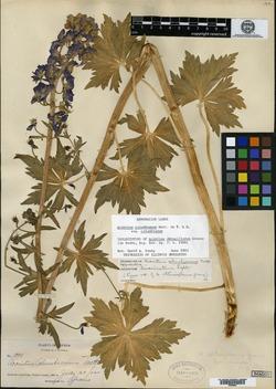 Image of Aconitum obtusiflorum