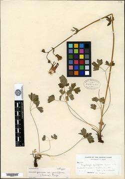 Image of Aquilegia pauciflora