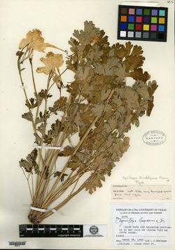 Image of Aquilegia hinckleyana