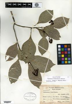Image of Psychotria balancanensis
