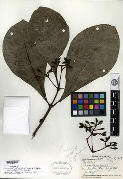 Psychotria calophylla image