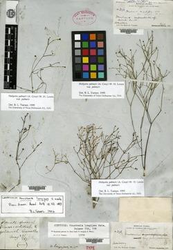 Image of Houstonia palmeri